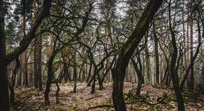 Bosque de árvores estranhamente dadas forma Fotografia de Stock