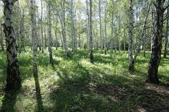 Bosque de árvores de vidoeiro em maio fotos de stock royalty free