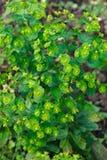 Bosque de amygdaloides do eufórbio das flores do eufórbio foto de stock royalty free