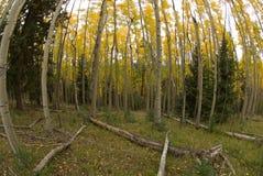 Bosque de Aspen Fotografia de Stock