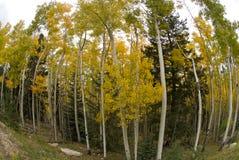 Bosque de Aspen Fotos de Stock