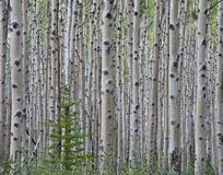 Bosque de Aspen Foto de archivo