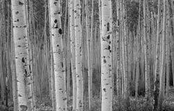 Bosque de Aspen imagenes de archivo