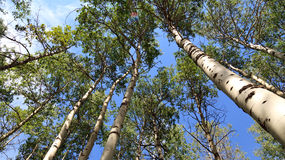 Bosque de Aspen Imágenes de archivo libres de regalías