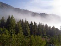 Bosque de Aspen con la niebla kreeping adentro Imagenes de archivo