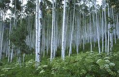 Bosque de Aspen em montanhas rochosas Imagem de Stock