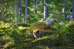 Bosque de Aspen en la primavera temprana Fotos de archivo