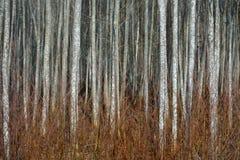 Bosque de Aspen en la primavera temprana Imagenes de archivo