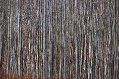 Bosque de Aspen en la primavera temprana en Estonia Imagenes de archivo