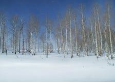 Bosque de Aspen na neve do inverno em Colorado Imagem de Stock
