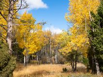 Bosque de Aspen Trees no outono fotos de stock royalty free