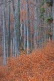 Bosque de Autumn Birch na floresta imagens de stock