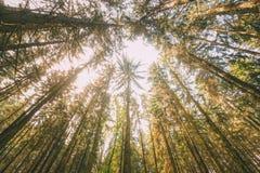 Bosque de Autumn Pine Coniferous Forest Trees al toldo Fondo granangular de la visión inferior Fotografía de archivo