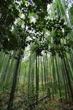 Bosque de bambú en Arashiyama, Japón Fotografía de archivo libre de regalías