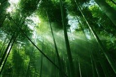 Bosque de bambú en sol imagen de archivo