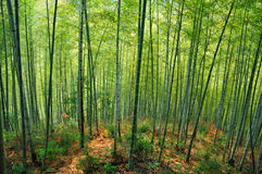 Bosque de bambú Foto de archivo