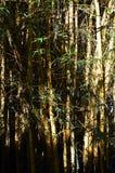 Bosque de bambú grueso Imágenes de archivo libres de regalías