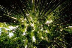 Bosque de bambú a lo largo del rastro de Pipiwai Foto de archivo libre de regalías