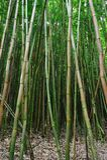 Bosque de bambú Maui, Hawaii Fotos de archivo