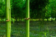 Bosque de bambú verde claro, bambú del primer Imagen de archivo libre de regalías
