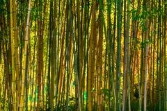 Bosque de bambu no dia ensolarado Foto de Stock Royalty Free