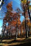 Bosque de Beechtree Fotografía de archivo