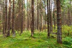 Bosque de Coneferous Imagen de archivo libre de regalías