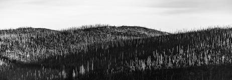 Bosque de Devasted en caues de la infestación del escarabajo de corteza Parque nacional y bosque bávaro, República Checa de Sumav fotografía de archivo