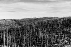 Bosque de Devasted en caues de la infestación del escarabajo de corteza Parque nacional y bosque bávaro, República Checa de Sumav fotografía de archivo libre de regalías