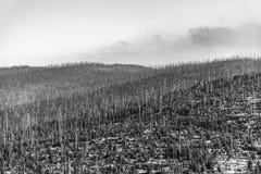 Bosque de Devasted en caues de la infestación del escarabajo de corteza Parque nacional y bosque bávaro, República Checa de Sumav imagenes de archivo