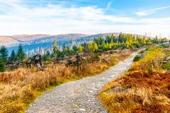 Bosque de Devasted en caues de la infestación del escarabajo de corteza Parque nacional y bosque bávaro, República Checa de Sumav fotos de archivo libres de regalías
