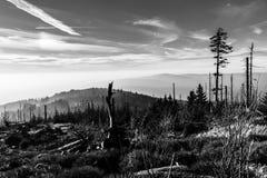 Bosque de Devasted en caues de la infestación del escarabajo de corteza Parque nacional y bosque bávaro, República Checa de Sumav imágenes de archivo libres de regalías