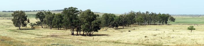 Bosque de Eucaliptus fotografia de stock