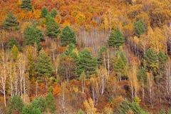 Bosque de Extremo Oriente en otoño, colores rojos y verdes amarillos brillantes Fotos de archivo