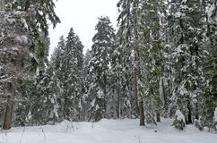 Bosque de Frost en montaña en el invierno, Rila, Borovetz Imagenes de archivo