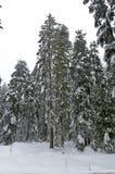 Bosque de Frost en montaña en el invierno, Rila, Borovetz Fotografía de archivo