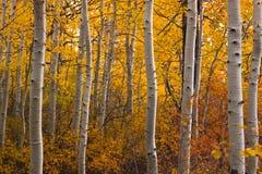 Bosque de giro de Aspen Imagens de Stock Royalty Free