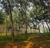 Bosque de goma Imagen de archivo libre de regalías