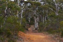 Bosque de Gumtree Fotos de archivo