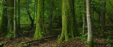 Bosque de hojas caducas con el musgo del árbol envuelto Fotografía de archivo