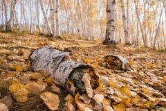Bosque de hojas caducas del abedul Imagenes de archivo