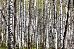 Bosque de hojas caducas del abedul con luz del sol de la mañana Imágenes de archivo libres de regalías