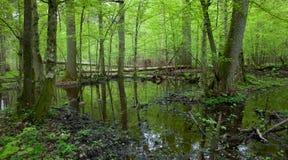 Bosque de hojas caducas mojado del resorte con agua derecha Fotos de archivo libres de regalías