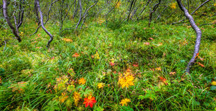 Bosque de Islandic Imagen de archivo