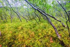 Bosque de Islandic Fotografía de archivo libre de regalías