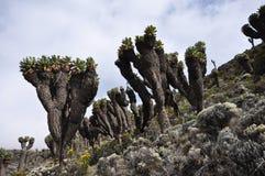 Bosque de Kilimanjari del Senecio en el montaje Kilimanjaro Imágenes de archivo libres de regalías
