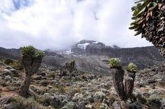 Bosque de Kilimanjari del Senecio en el montaje Kilimanjaro Foto de archivo libre de regalías