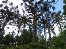 Bosque de la araucaria Foto de archivo libre de regalías