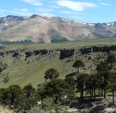 Bosque de la araucaria (Patagonia) Foto de archivo libre de regalías