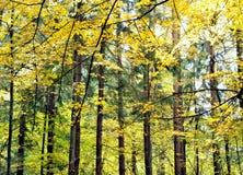Bosque de la caída Fotos de archivo libres de regalías